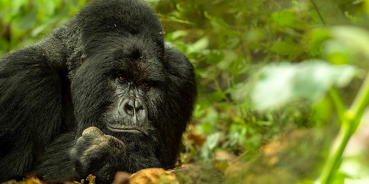 Penda Gorillas Photography Tour and Workshop